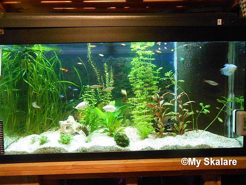 skalare aquarium größe